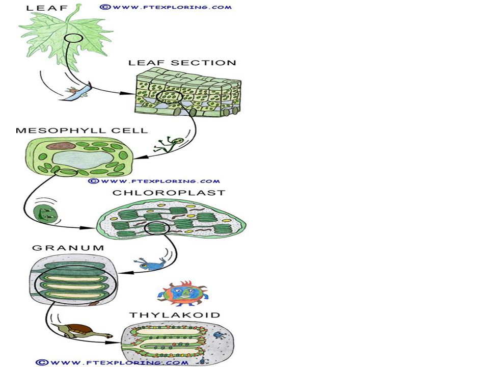 The Absorption of Chlorophyll A pigment is a substance that absorbs and reflects light of particular wavelengths.