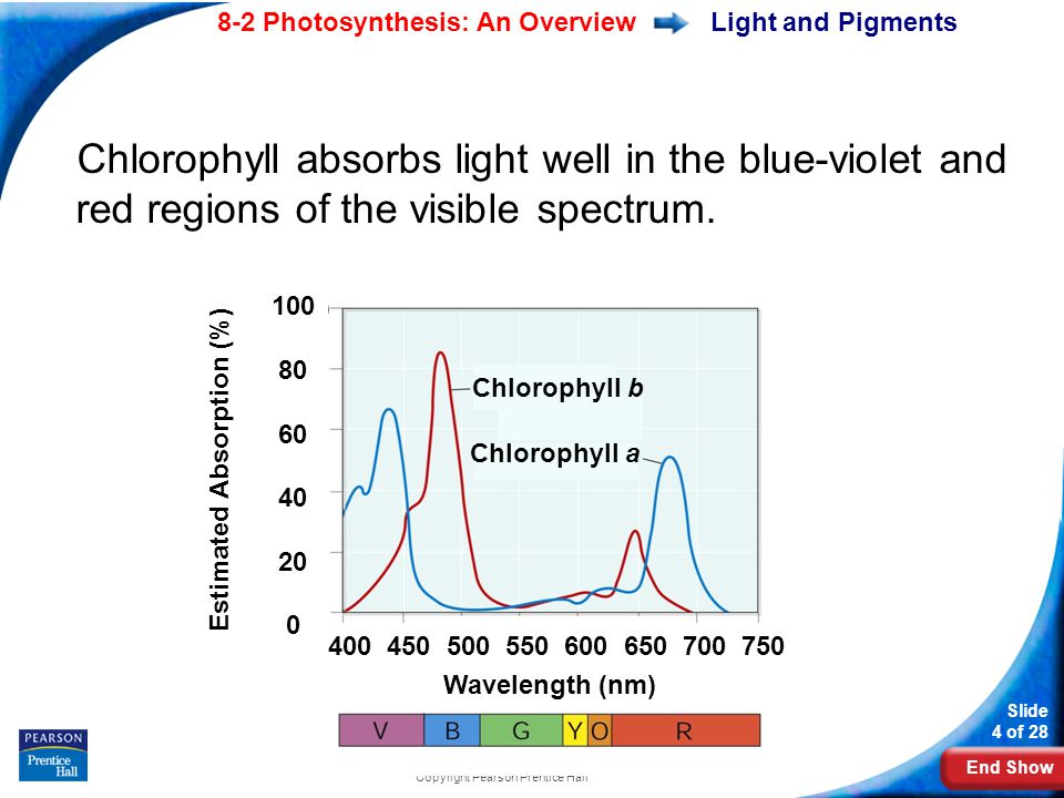 End Show Slide 4 of 28 8-2 Photosynthesis: An Overview Copyright Pearson Prentice Hall Light and Pigments Chlorophyll absorbs light well in the blue-violet and red regions of the visible spectrum.