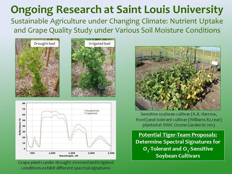 Sensitive soybean cultivar (A.K.