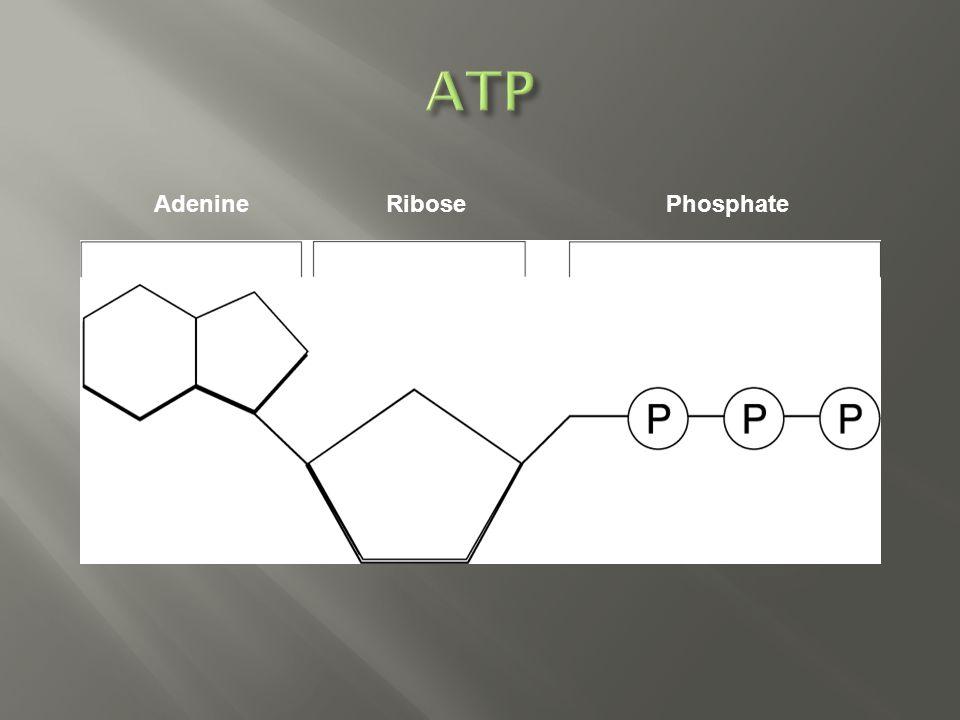 PhosphateAdenineRibose