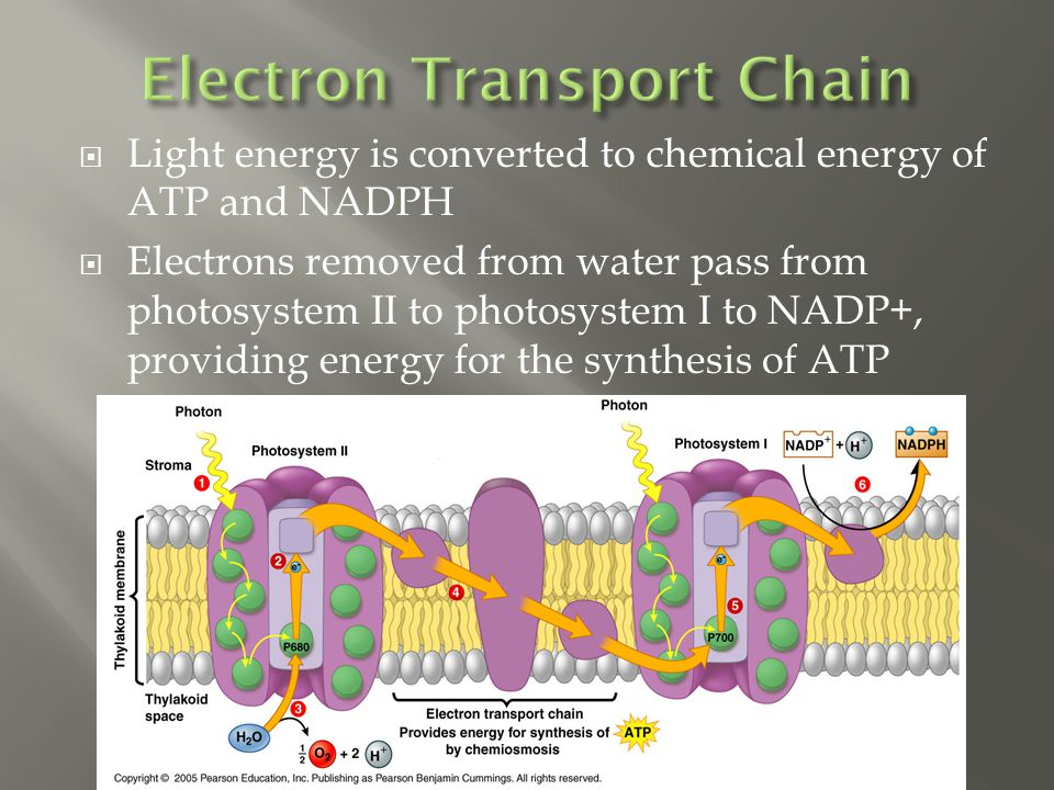  Light energy is converted to chemical energy of ATP and NADPH  Electrons removed from water pass from photosystem II to photosystem I to NADP+, providing energy for the synthesis of ATP