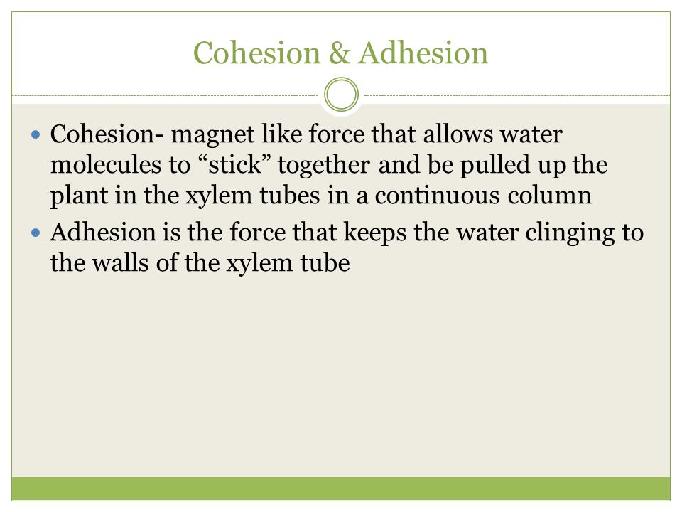"Cohesion & Adhesion Cohesion- magnet like force that allows water molecules to ""stick"" together and be pulled up the plant in the xylem tubes in a con"