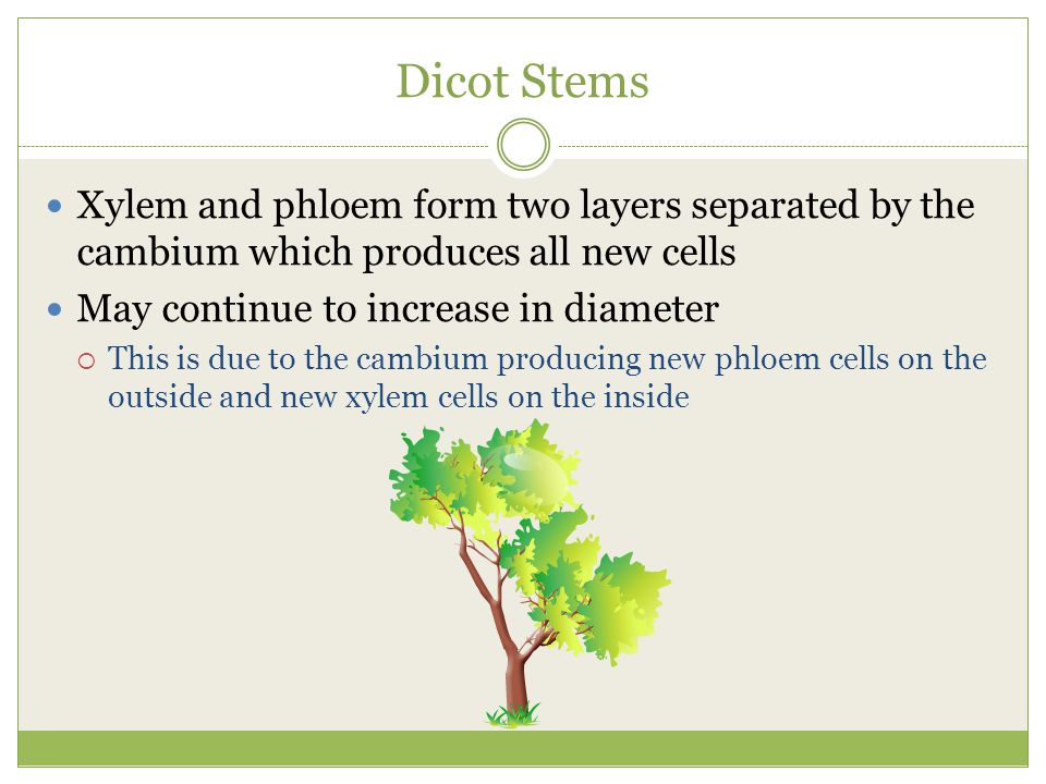 Dicot Stems Xylem and phloem form two layers separated by the cambium which produces all new cells May continue to increase in diameter  This is due