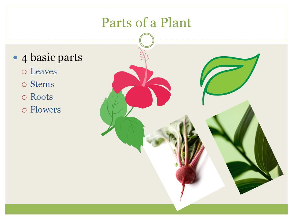 Leaves Produce and store all the food used by the plant Shape and size help in plant identification  Fig 3-2 p.