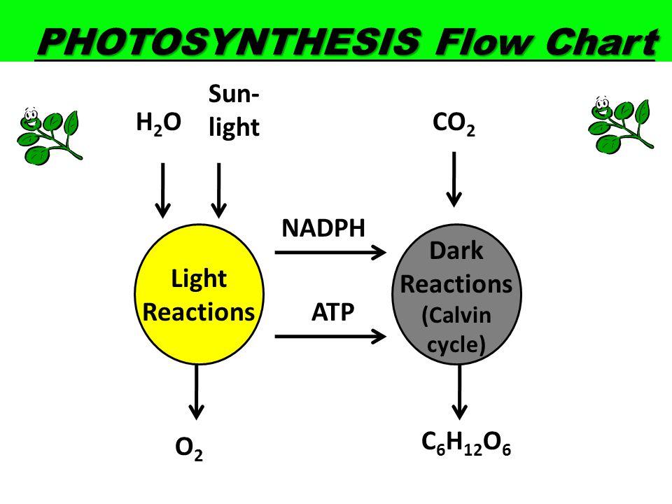 PHOTOSYNTHESIS Flow Chart H2OH2O Sun- light CO 2 C 6 H 12 O 6 O2O2 Light Reactions Dark Reactions (Calvin cycle) ATP NADPH
