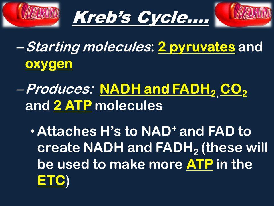 Kreb's Cycle….