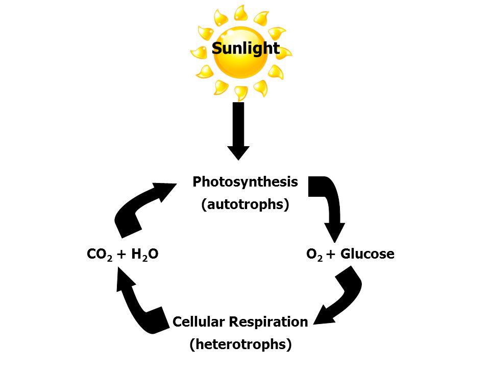 Sunlight Photosynthesis (autotrophs) O 2 + GlucoseCO 2 + H 2 O Cellular Respiration (heterotrophs)