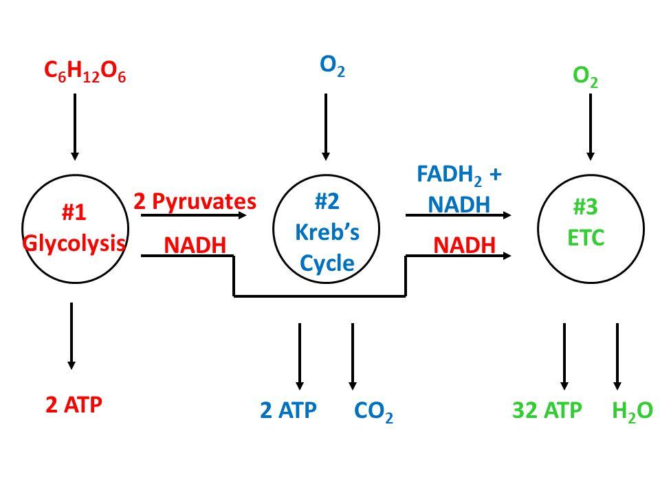 C 6 H 12 O 6 #1 Glycolysis #2 Kreb's Cycle #3 ETC 2 ATP 2 Pyruvates NADH O2O2 CO 2 O2O2 2 ATP FADH 2 + NADH H2OH2O32 ATP