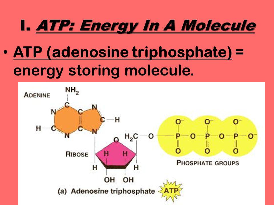 I. ATP: Energy In A Molecule ATP (adenosine triphosphate) = energy storing molecule.