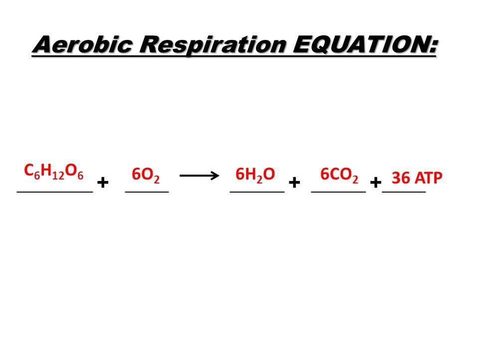 Aerobic Respiration EQUATION: _______ + ____ _____ + _____ +____ C 6 H 12 O 6 6O 2 6H 2 O6CO 2 36 ATP