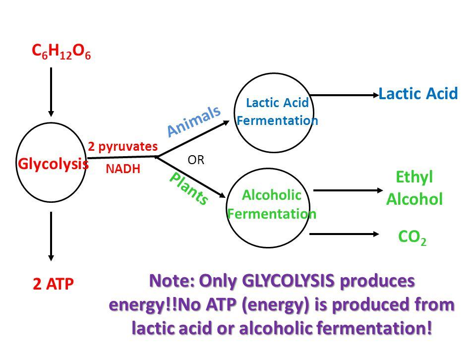 OR Glycolysis Lactic Acid Fermentation Alcoholic Fermentation Animals Plants CO 2 Ethyl Alcohol Lactic Acid C 6 H 12 O 6 2 ATP Note: Only GLYCOLYSIS produces energy!!No ATP (energy) is produced from lactic acid or alcoholic fermentation.