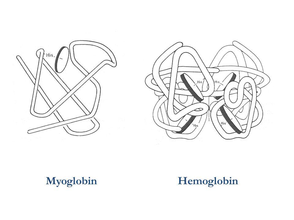 MyoglobinHemoglobin