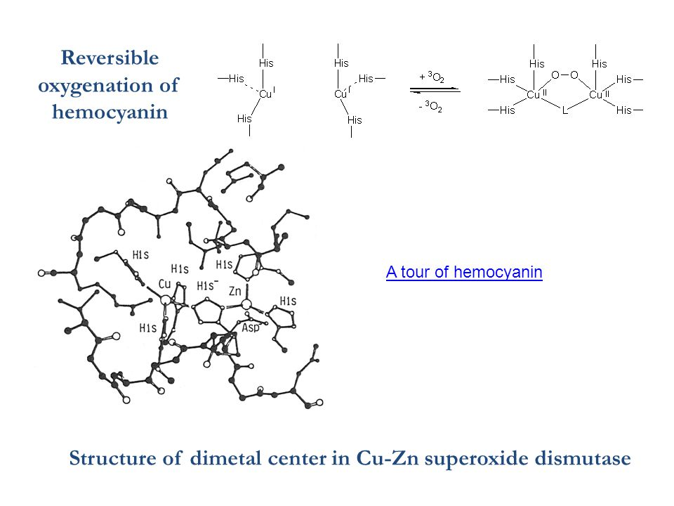 Reversible oxygenation of hemocyanin Structure of dimetal center in Cu-Zn superoxide dismutase A tour of hemocyanin