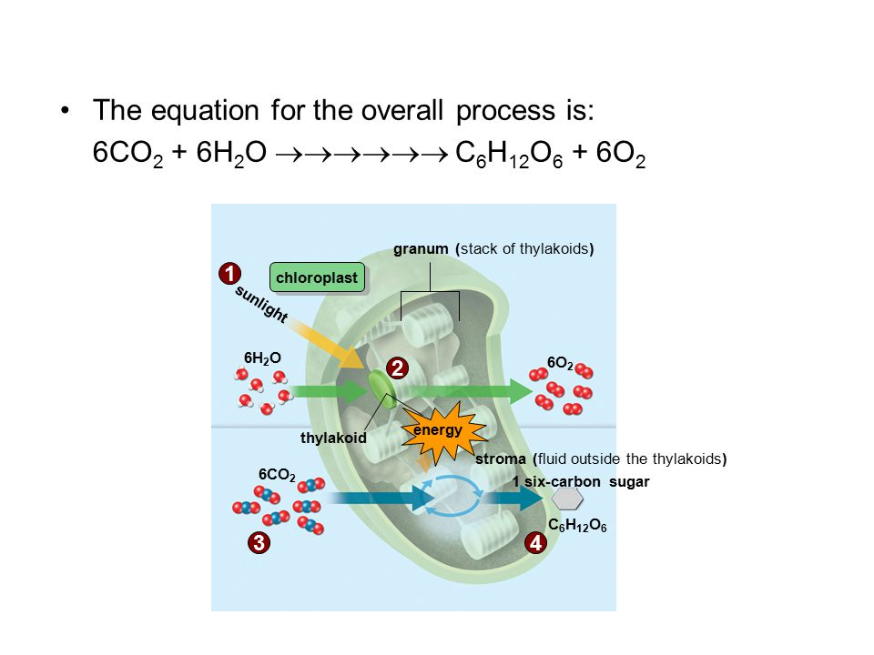 The equation for the overall process is: 6CO 2 + 6H 2 O  C 6 H 12 O 6 + 6O 2 C 6 H 12 O 6 granum (stack of thylakoids) thylakoid sunlight 1 six-