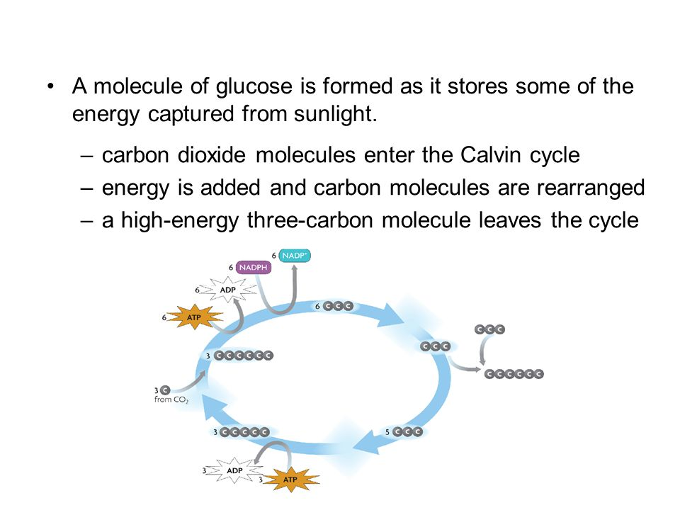 A molecule of glucose is formed as it stores some of the energy captured from sunlight. –carbon dioxide molecules enter the Calvin cycle –energy is ad
