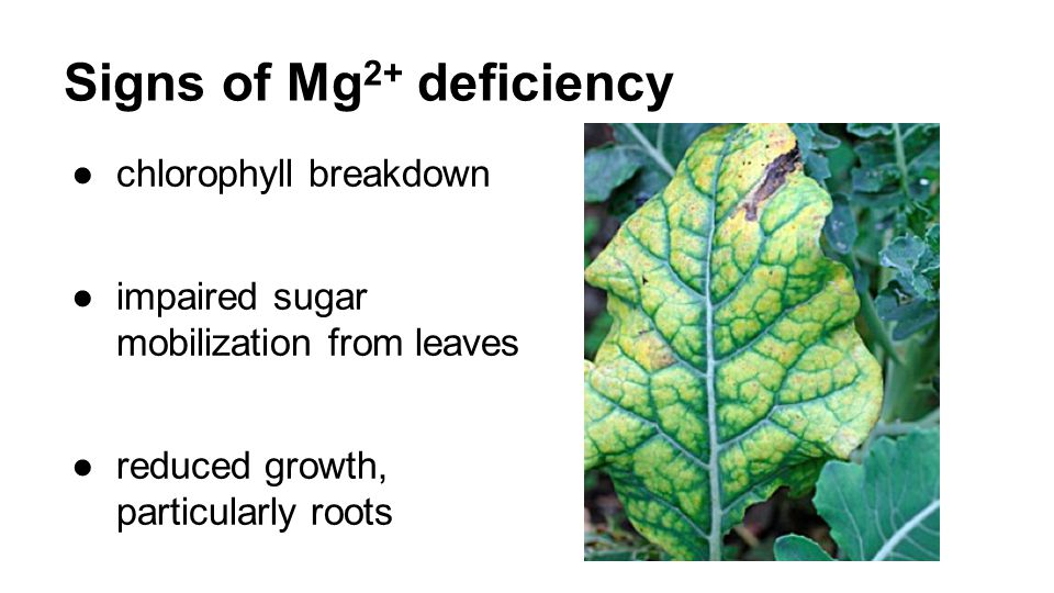 Signs of Mg 2+ deficiency ●chlorophyll breakdown ●impaired sugar mobilization from leaves ●reduced growth, particularly roots