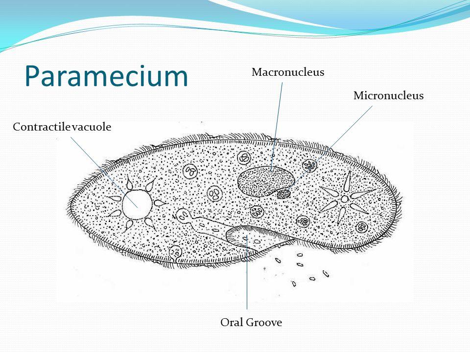 Paramecium Oral Groove Micronucleus Macronucleus Contractile vacuole