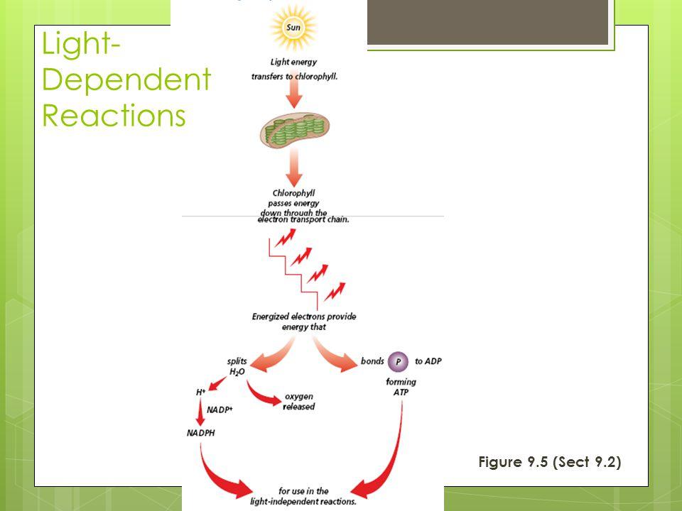 Figure 9.5 (Sect 9.2) Light- Dependent Reactions