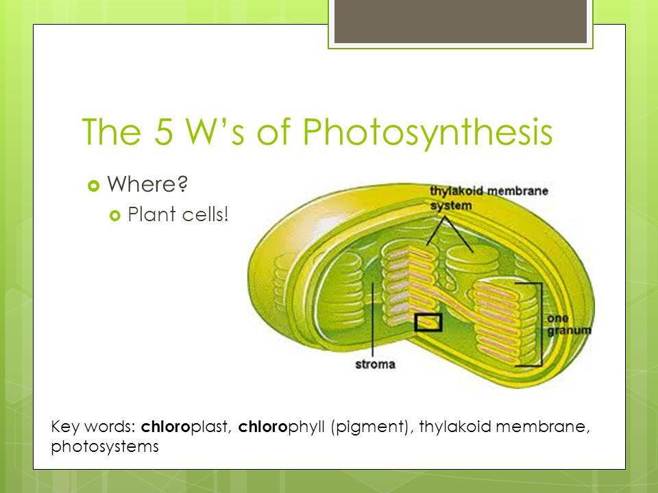 The 5 W's of Photosynthesis  Where.  Plant cells.