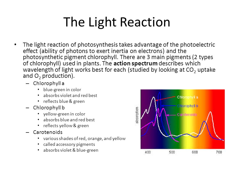 Photosystems Photosystems - complexes containing the pigments where light energy is harvested – When a photon is absorbed by a pigment it causes an e- to move from its ground state to an excited state.