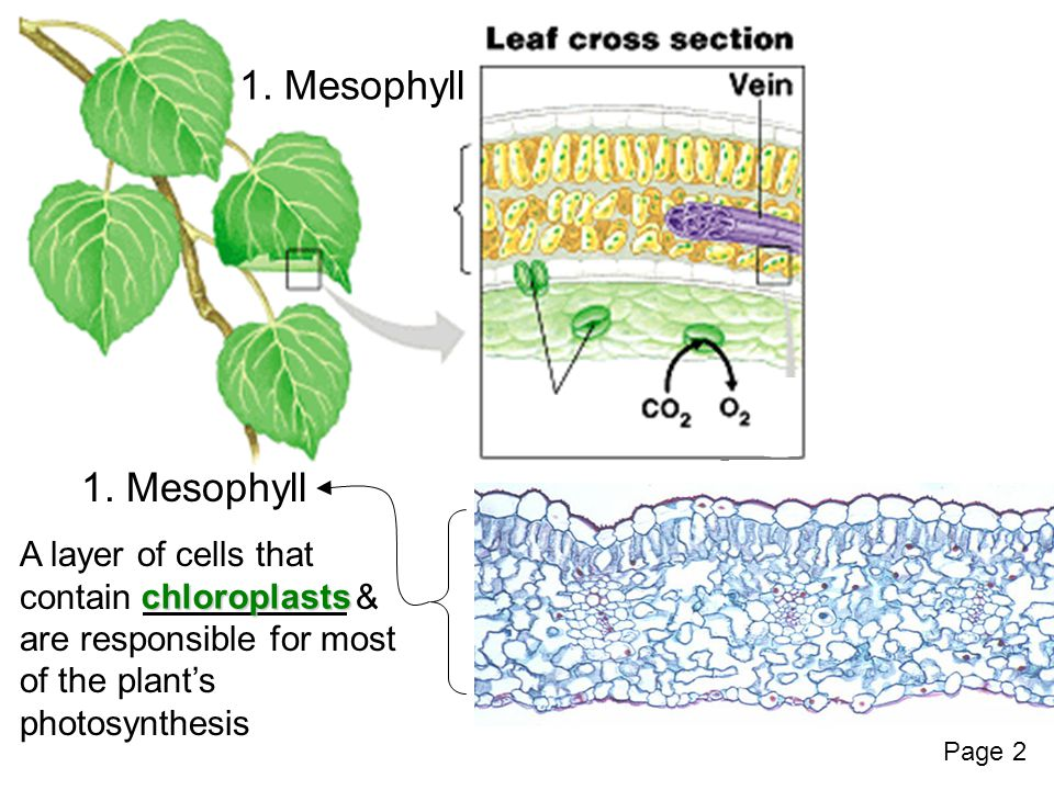 1. Mesophyll A layer of cells that contain & are responsible for most of the plant's photosynthesis chloroplasts Page 2