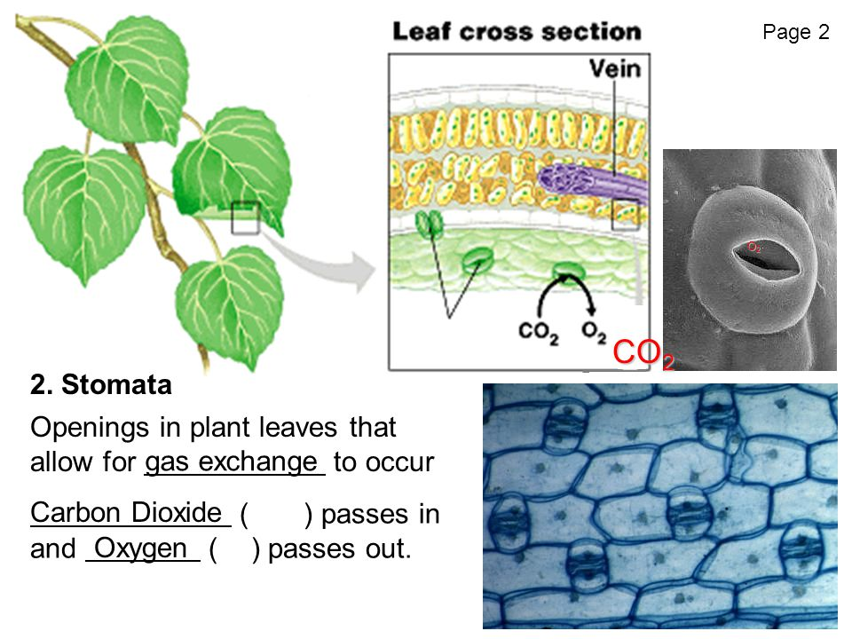 2. Stomata Openings in plant leaves that allow for to occur (CO 2 ) passes in and (O 2 ) passes out. CO 2 O2O2O2O2 gas exchange Carbon Dioxide Oxygen
