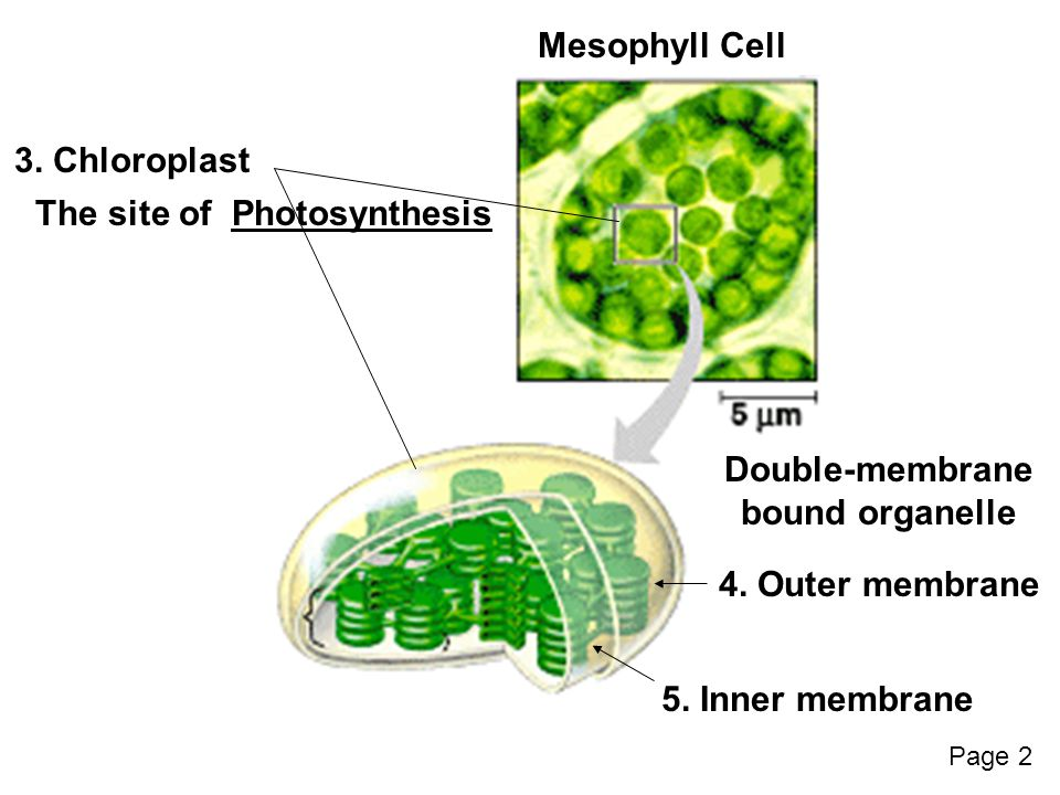 Mesophyll Cell 3. Chloroplast The site ofPhotosynthesis Double-membrane bound organelle 5.
