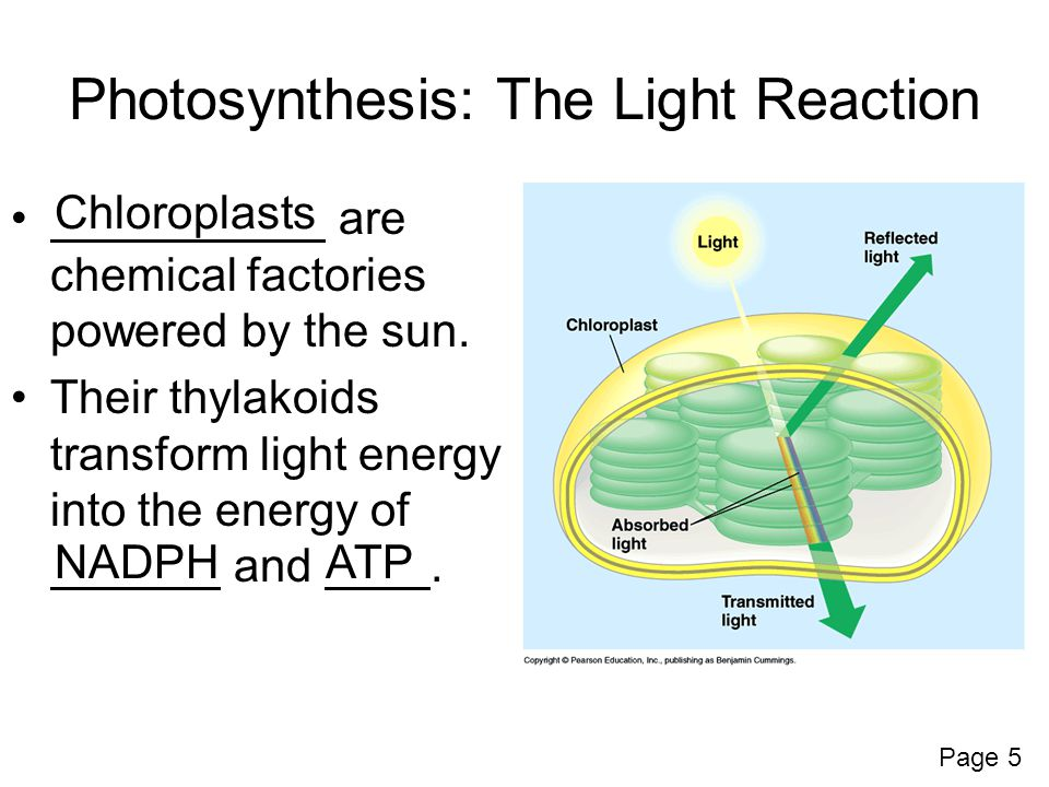 Photosynthesis: The Light Reaction are chemical factories powered by the sun.