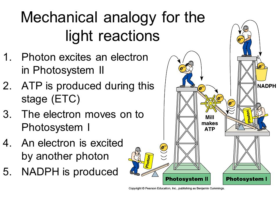 Mechanical analogy for the light reactions 1.Photon excites an electron in Photosystem II 2.ATP is produced during this stage (ETC) 3.The electron moves on to Photosystem I 4.An electron is excited by another photon 5.NADPH is produced
