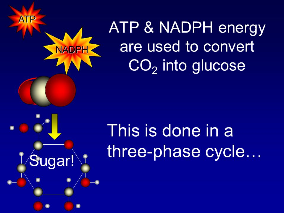 ATP & NADPH energy are used to convert CO 2 into glucose NADPH ATP CO 2 Sugar.