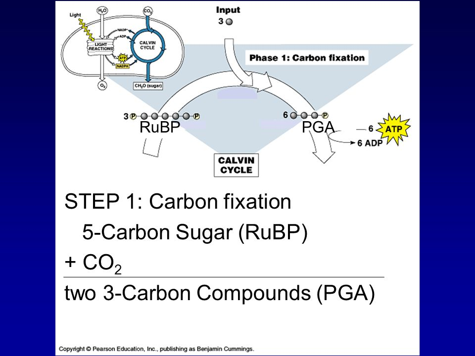 STEP 1: Carbon fixation 5-Carbon Sugar (RuBP) + CO 2 two 3-Carbon Compounds (PGA) RuBPPGA
