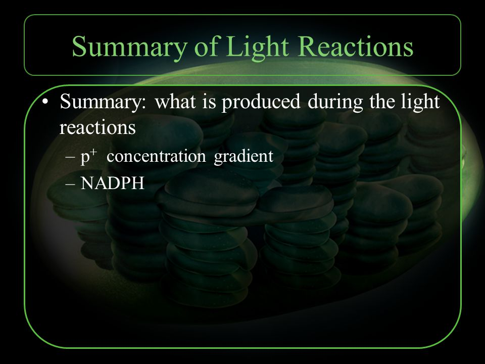 Summary of Light Reactions Summary: what is produced during the light reactions –p + concentration gradient –NADPH