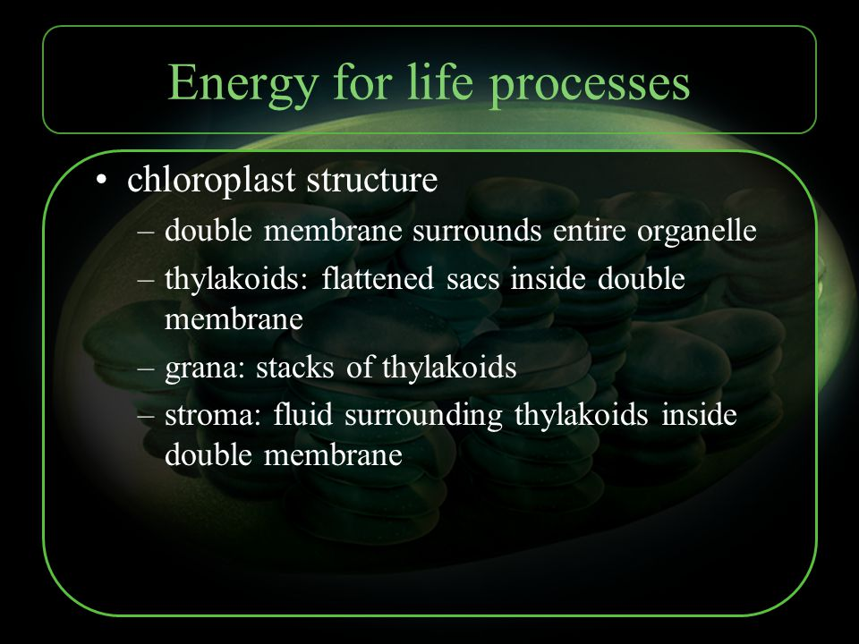 Energy for life processes chloroplast structure –double membrane surrounds entire organelle –thylakoids: flattened sacs inside double membrane –grana:
