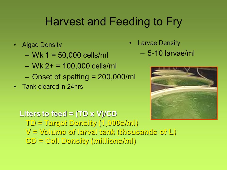 Harvest and Feeding to Fry Algae Density –Wk 1 = 50,000 cells/ml –Wk 2+ = 100,000 cells/ml –Onset of spatting = 200,000/ml Tank cleared in 24hrs Larva