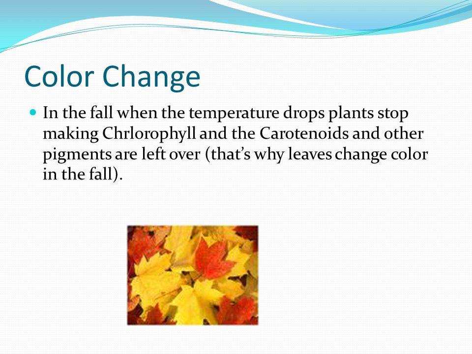 Pigments Are molecules that absorb light Chlorophyll, a green pigment, is the primary absorber for photosynthesis There are two types of cholorophyll Chlorophyll a Chlorophyll b Carotenoids, yellow & orange pigments, are those that produce fall colors.