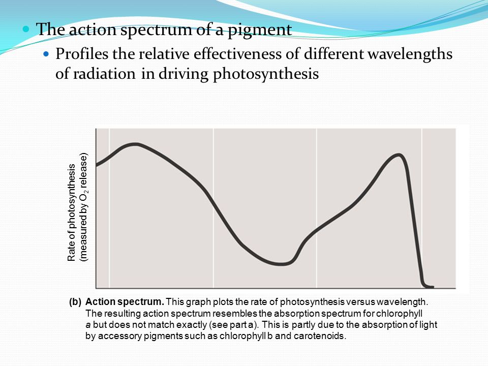 The absorption spectra of three types of pigments in chloroplasts Three different experiments helped reveal which wavelengths of light are photosynthetically important.