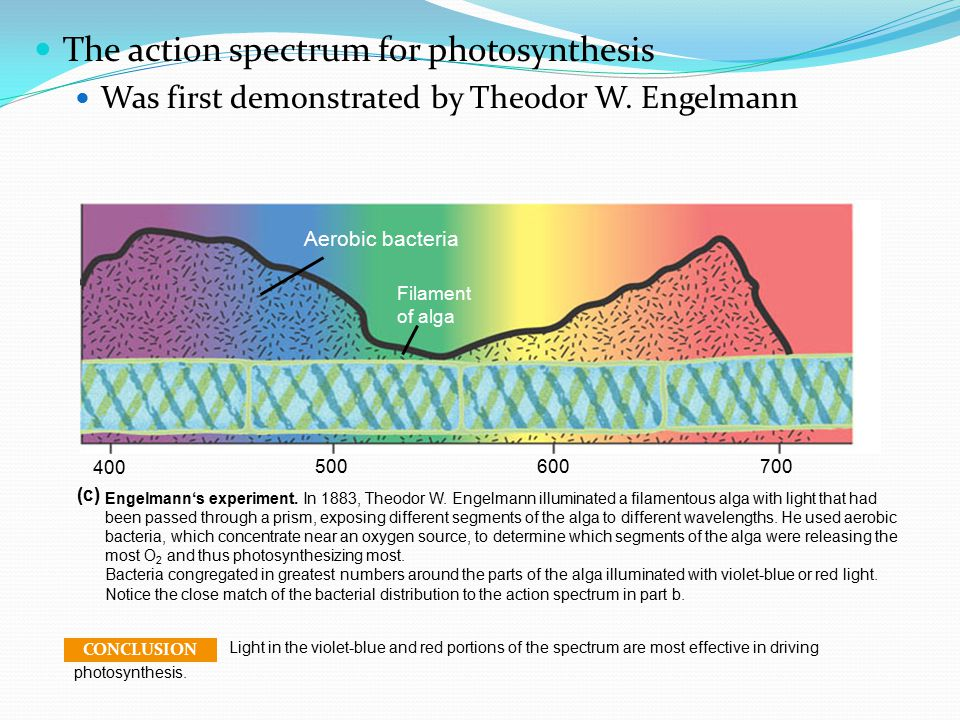 The action spectrum of a pigment Profiles the relative effectiveness of different wavelengths of radiation in driving photosynthesis Rate of photosynthesis (measured by O 2 release) Action spectrum.