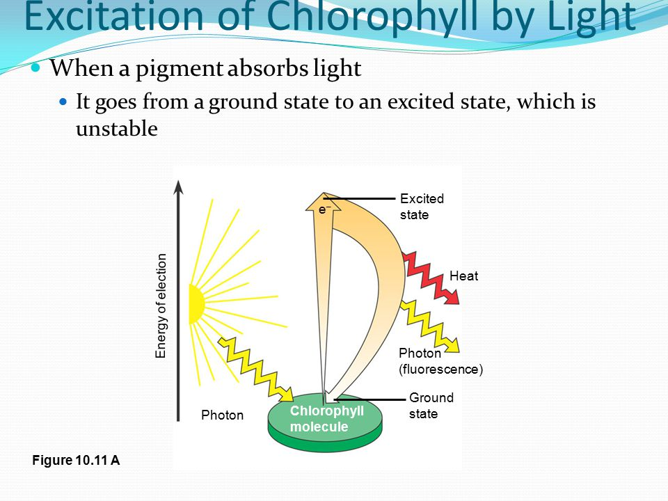 First Phase Requires Light = Light Dependent Reaction Sun's energy energizes an electron in chlorophyll molecule Electron is passed to nearby protein molecules in the thylakoid membrane of the chloroplast
