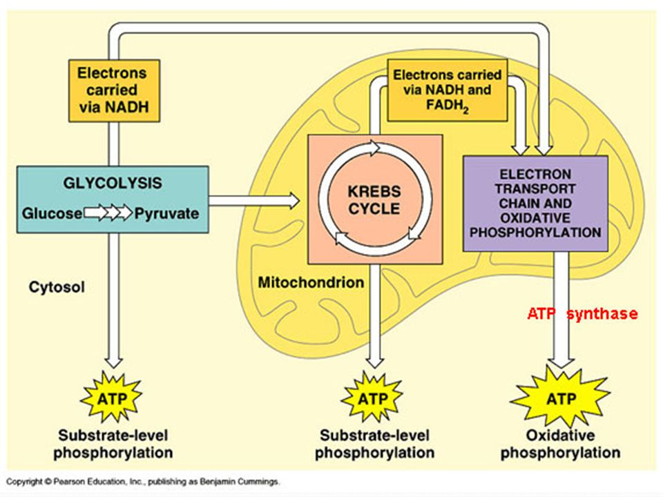 Glycolysis Where? The cytosol What? Breaks down glucose to pyruvic acid