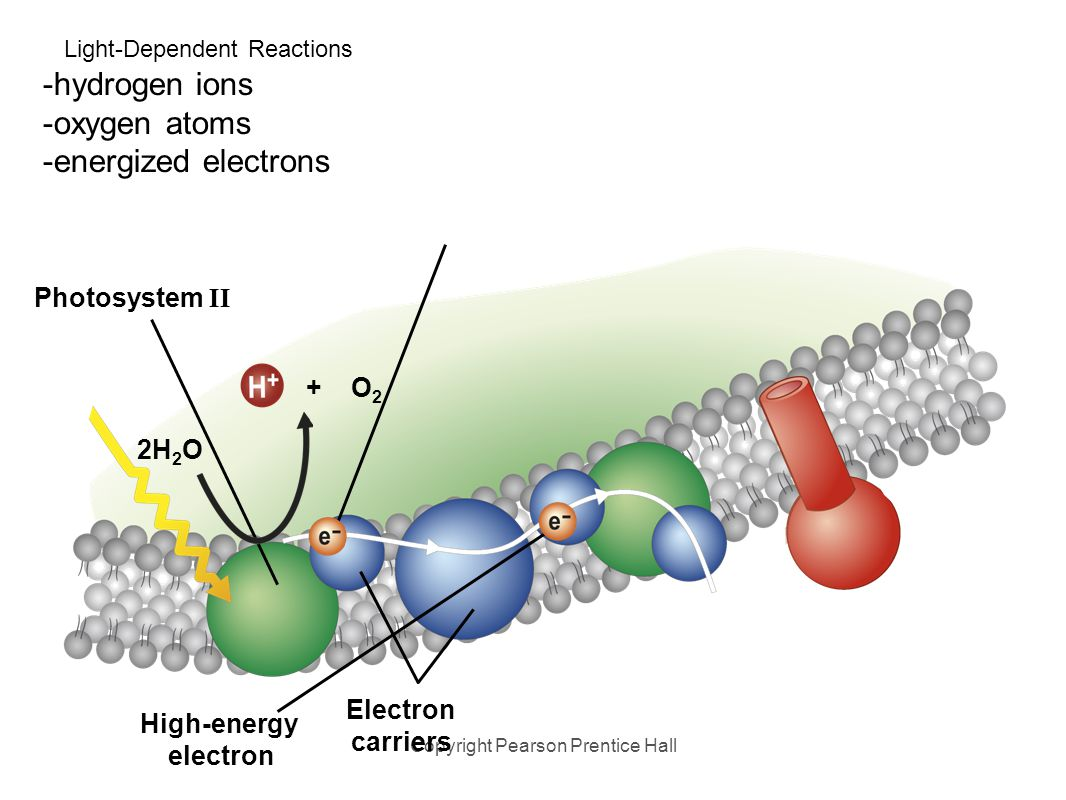 Light-Dependent Reactions 2. Enzymes on the thylakoid membrane break water molecules into: Copyright Pearson Prentice Hall Photosystem II 2H 2 O Elect