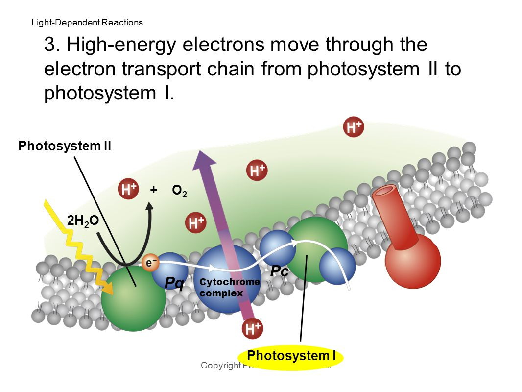 Light-Dependent Reactions Copyright Pearson Prentice Hall Photosystem II 2H 2 O 3. Energy from the electrons is used to transport H + ions from the st