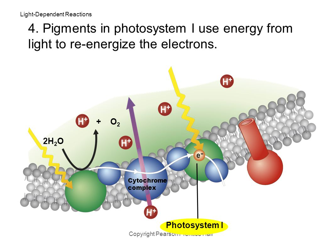 Light-Dependent Reactions Copyright Pearson Prentice Hall Photosystem II 2H 2 O 3. High-energy electrons move through the electron transport chain fro