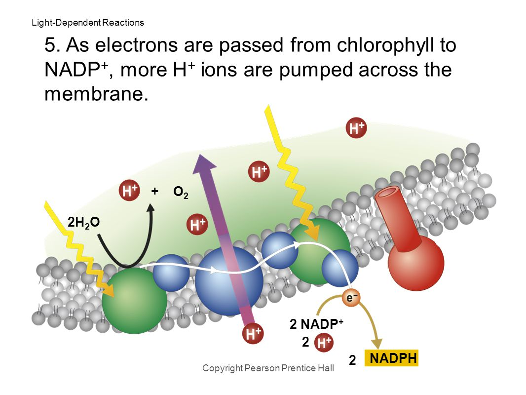 Light-Dependent Reactions Copyright Pearson Prentice Hall 2H 2 O 5. NADP + then picks up these high-energy electrons, along with H + ions, and reduces