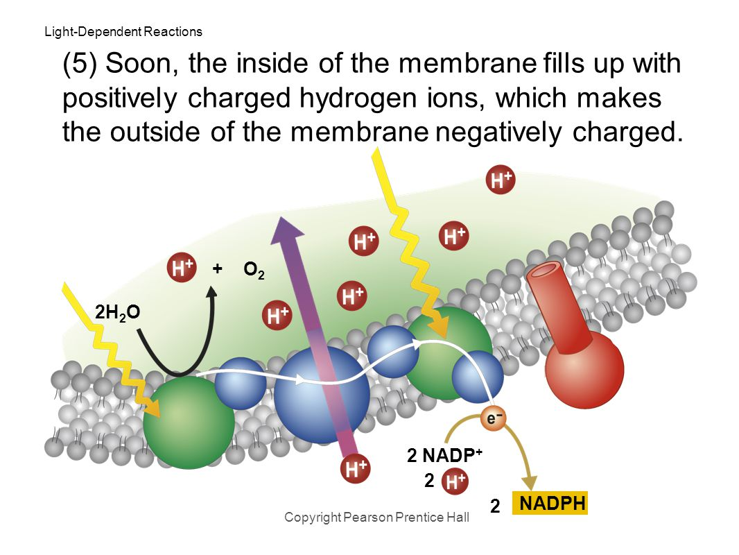 Light-Dependent Reactions Copyright Pearson Prentice Hall 2H 2 O 5. As electrons are passed from chlorophyll to NADP +, more H + ions are pumped acros