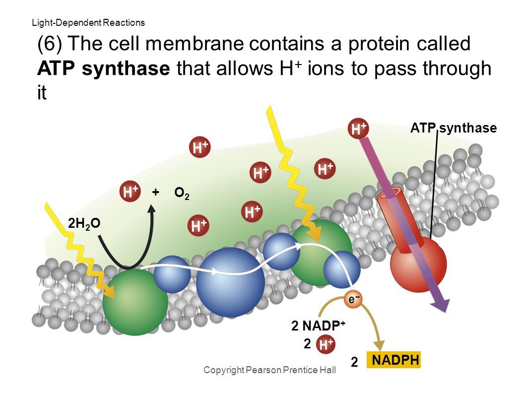 Light-Dependent Reactions Copyright Pearson Prentice Hall 2H 2 O (6) H + ions cannot cross the membrane directly. + O 2 ATP synthase 2 NADP + 2 NADPH