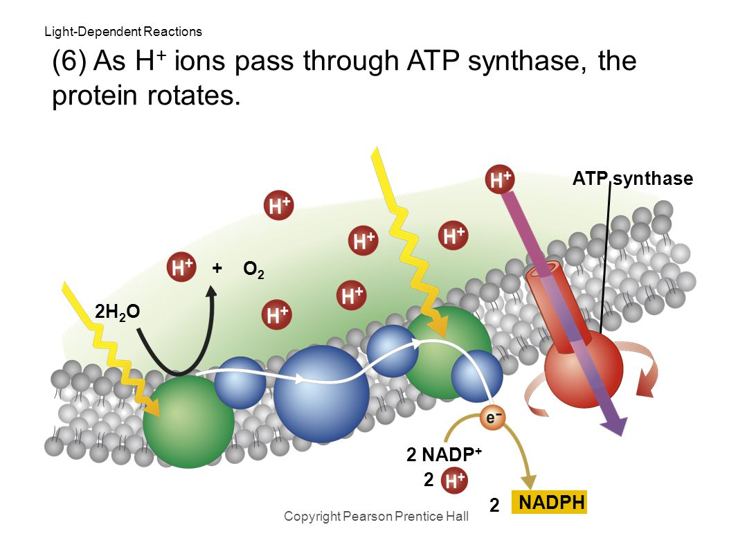 Light-Dependent Reactions Copyright Pearson Prentice Hall 2H 2 O (6) The cell membrane contains a protein called ATP synthase that allows H + ions to
