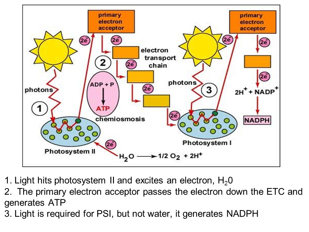 Photosystems of photosynthesis 2 photosystems in thylakoid membrane collections of chlorophyll molecules Photosystem II: contains chlorophyll a P 680