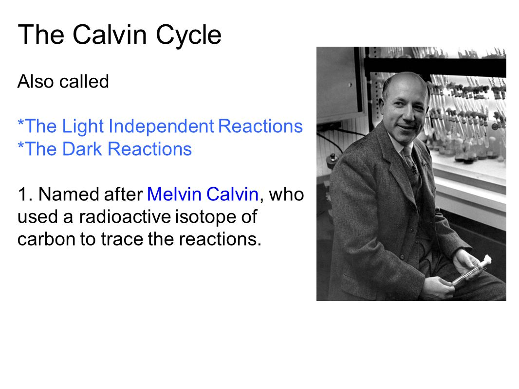The Calvin Cycle Whoops! Wrong Calvin… 1950s | 1961
