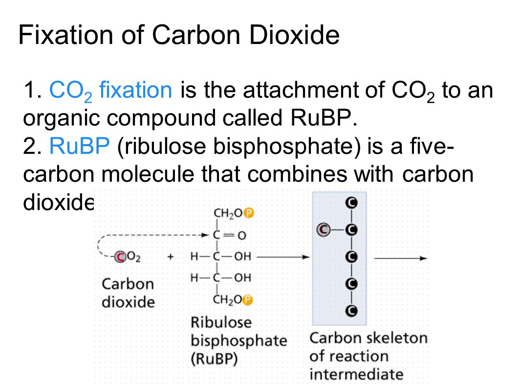 The Calvin Cycle is a series of reactions producing carbohydrates. carbon dioxide fixation, carbon dioxide reduction, and regeneration of RuBP. Conver