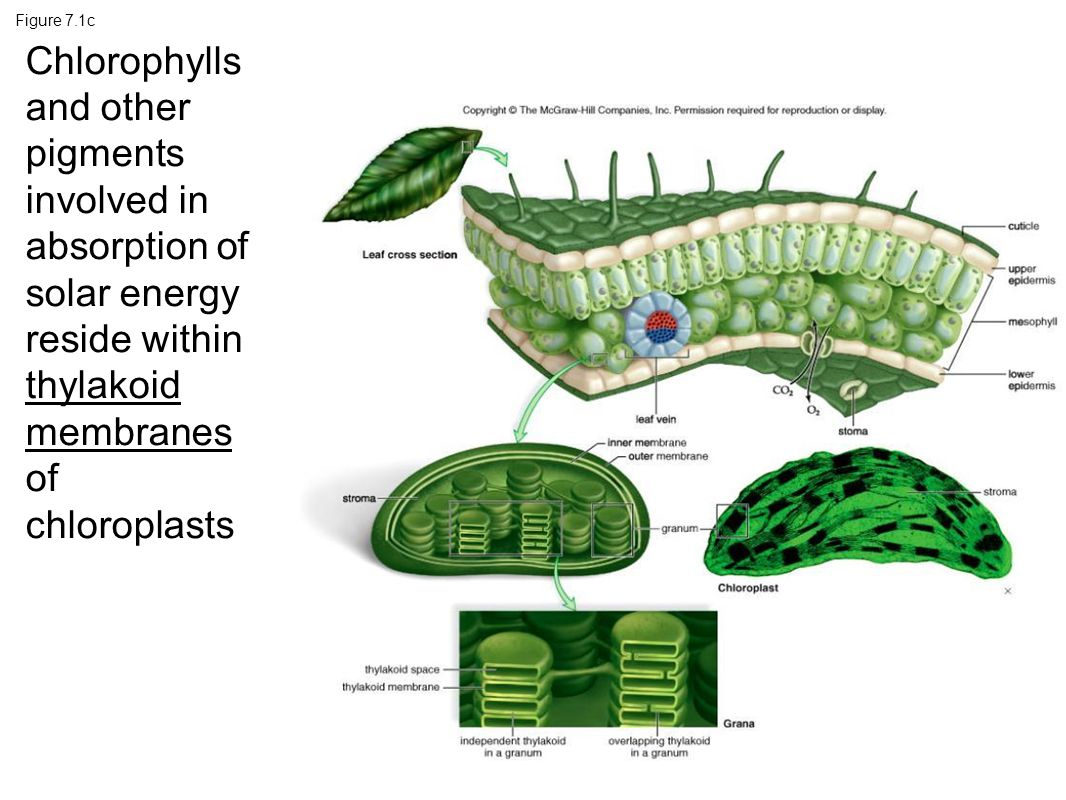 Figure 7.1c Chlorophylls and other pigments involved in absorption of solar energy reside within thylakoid membranes of chloroplasts